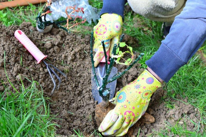 Het vrouwelijke Handen Planten nam toe royalty-vrije stock afbeeldingen