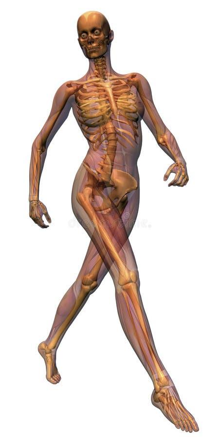 Het vrouwelijke lopen van de Anatomie stock afbeeldingen
