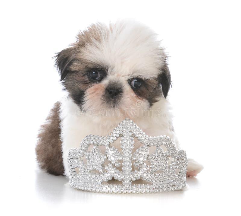 het vrouwelijke puppy die van shihtzu binnentiara leggen stock foto