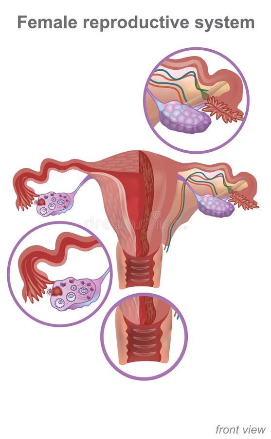 Het vrouwelijke reproductieve systeem bevat twee belangrijke delen: uter royalty-vrije illustratie