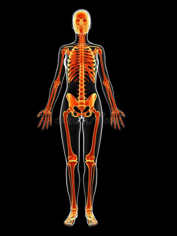 Het vrouwelijke skelet royalty-vrije illustratie
