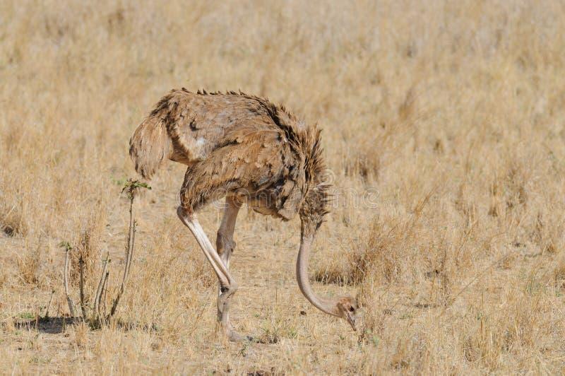 Het vrouwelijke struisvogel voeden stock foto