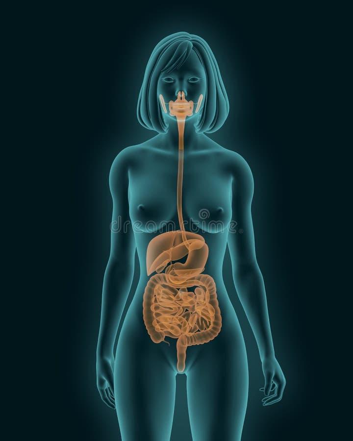 Het vrouwenlichaam met spijsverterings 3d systeem interne organen geeft terug stock illustratie