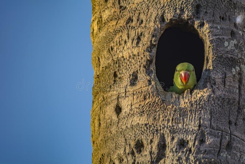Het wachten: Psittaculakrameri of Rose Ringed Parakeet Juvenile stock afbeelding