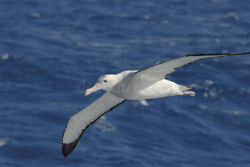Het wandelen Albatros royalty-vrije stock fotografie