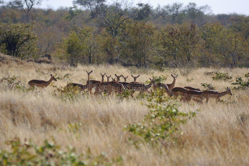 Het wandelen van impala's royalty-vrije stock afbeeldingen