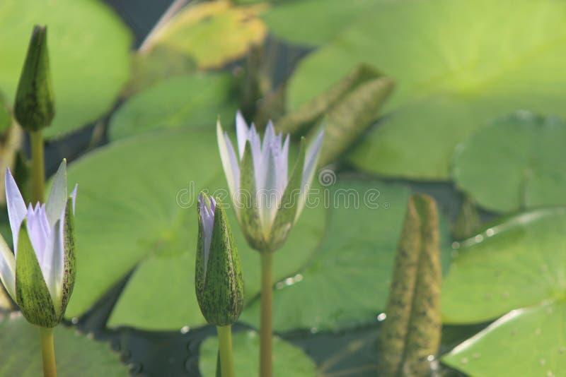 Het water bloeit lilly ongeveer om tot bloei te komen stock foto's