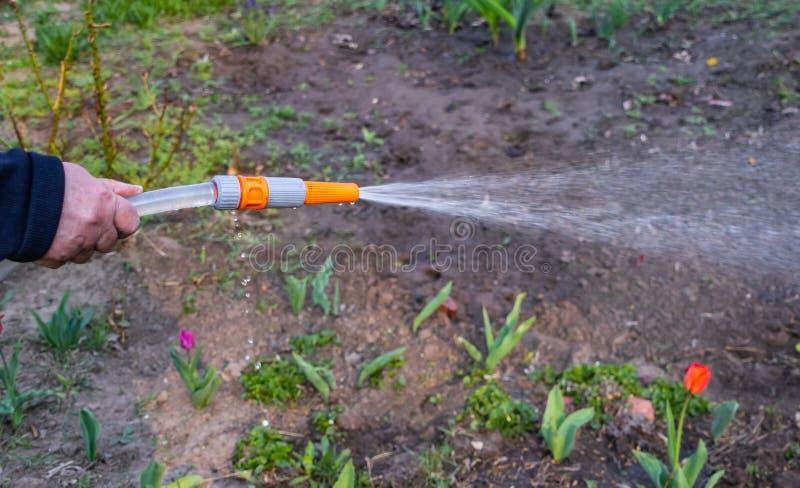 Het water geven van bloemen in de tuin met een het water geven hulpmiddel stock foto