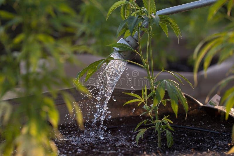 Het water geven van cannabis in de avond royalty-vrije stock afbeelding