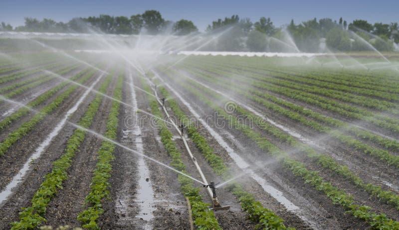 Het water geven van gewassen bij het gebied stock afbeeldingen