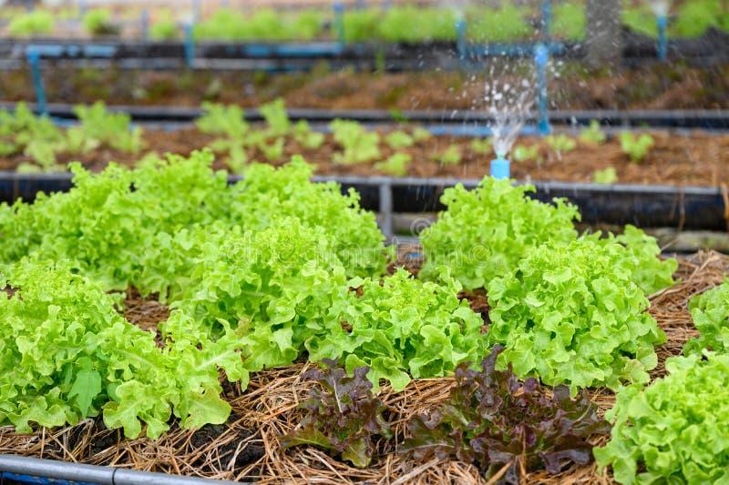 Het water geven van groene eiken sla in aanplanting royalty-vrije stock foto's