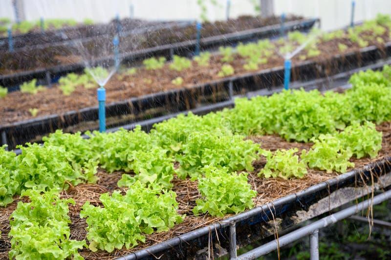 Het water geven van groene eiken sla in aanplanting stock foto's