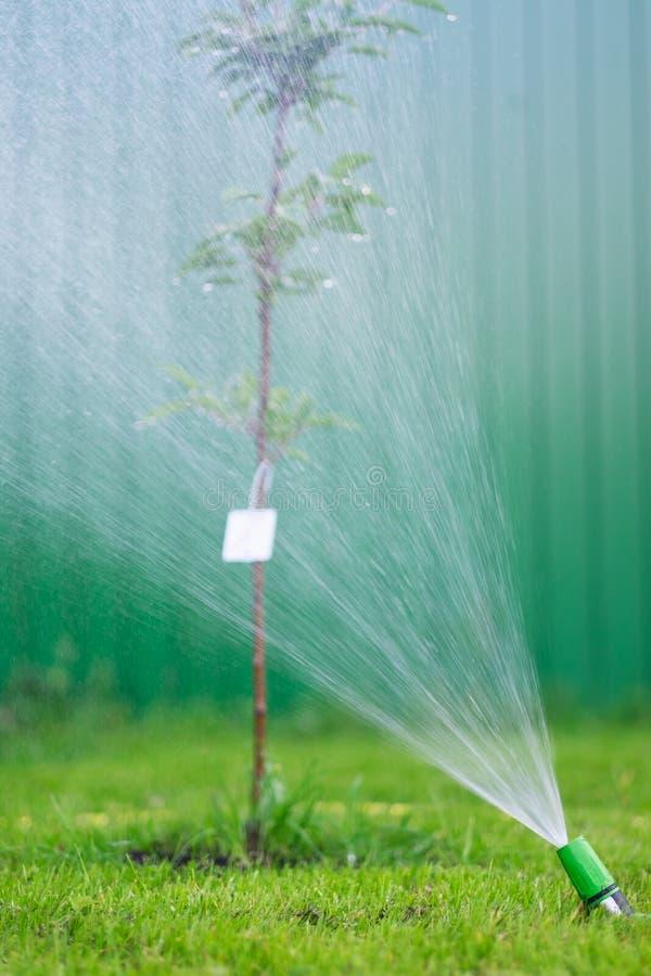 Het water geven van het groene grasgazon met een spuitbus bij de zomerdag royalty-vrije stock fotografie