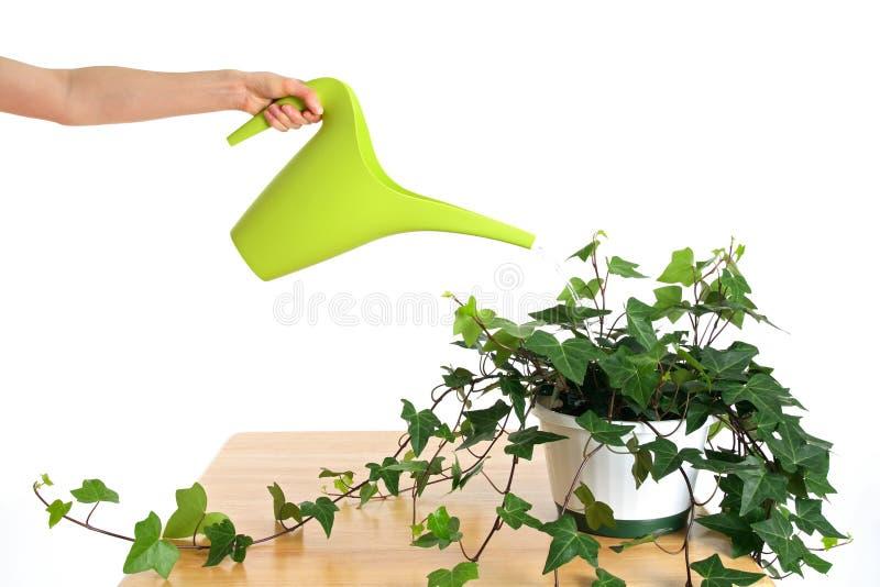 Het water geven van groene klimop in pot stock foto