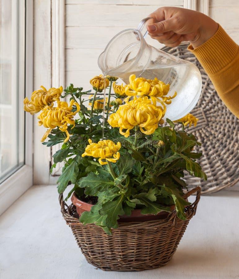 Het water geven van groot-gele chrysant in pot royalty-vrije stock afbeeldingen
