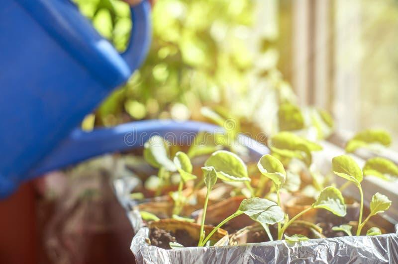 Het water geven van plantaardige zaailingen op venstervensterbank royalty-vrije stock foto