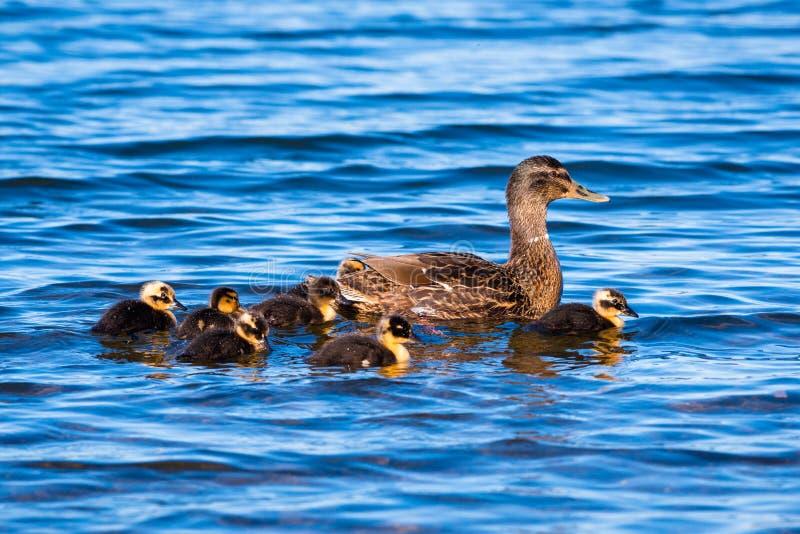 Het Water van moederduck with ducklings on blue royalty-vrije stock foto's
