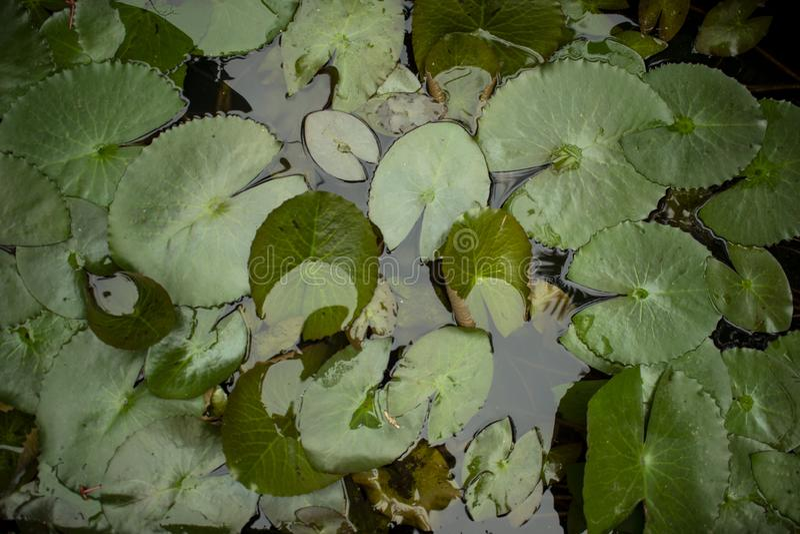 Het Water van waterlily leaves floating on pond stock foto