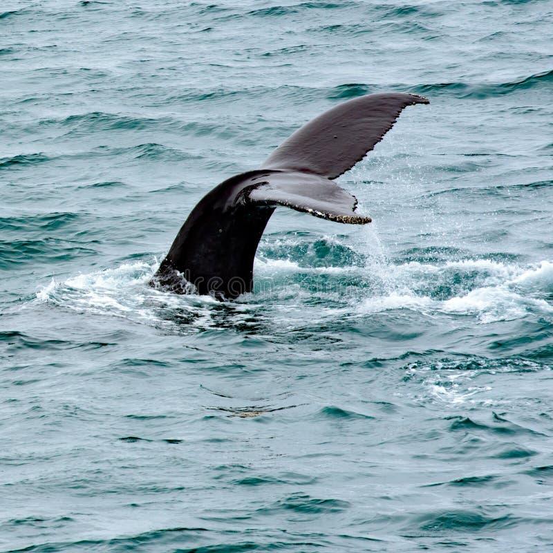 Het water walvis van de staart die uit, Noordpooloceaan, Groenland komen royalty-vrije stock afbeeldingen