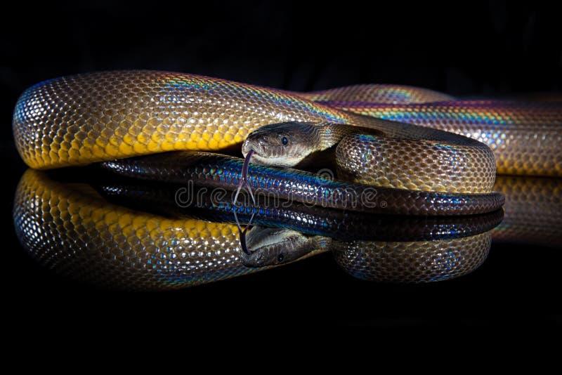 Het Waterpython van het regenboogserpent - Liasis-fuscus - op zwarte wordt geïsoleerd die stock afbeeldingen