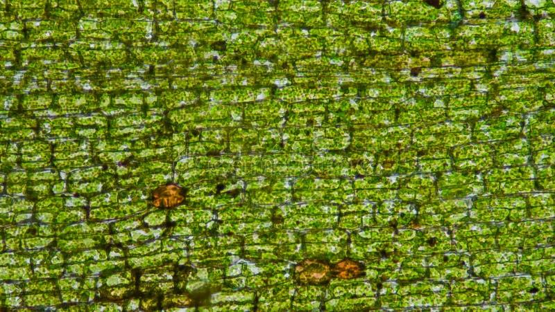 Het weefsel van waterpestcellen royalty-vrije stock afbeeldingen