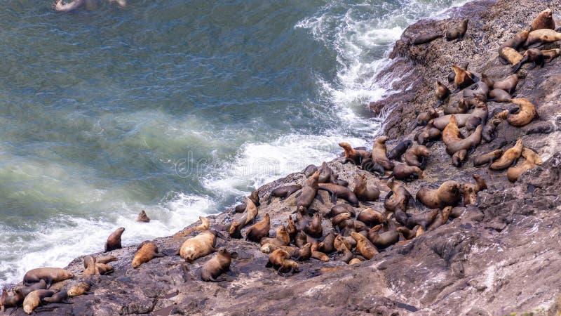 Het Weergeven bij een groep zeeleeuwen die op rotsen rusten dichtbij Zeeleeuwen holt, Oregon uit stock afbeelding