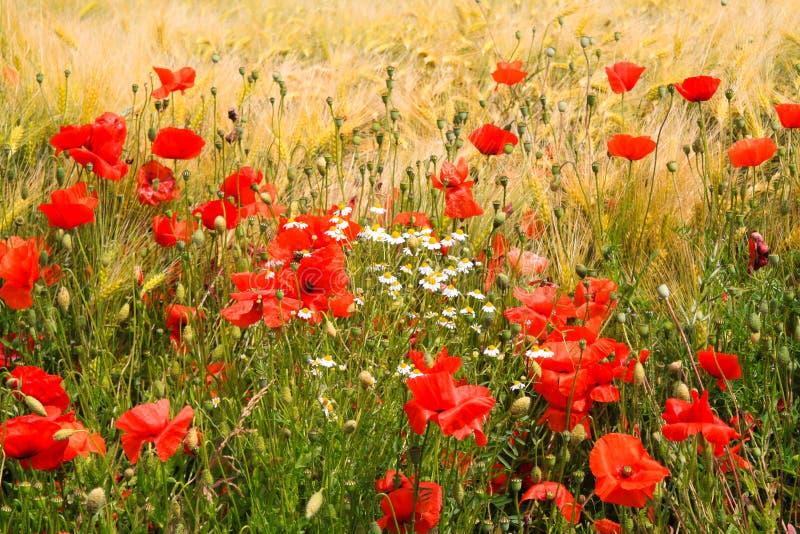 Het Weergeven op het gebied van het gerstgras in de zomer met rode graanpapaver bloeit Papaverrhoeas en witte en gele camomillebl stock fotografie