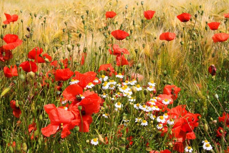 Het Weergeven op het gebied van het gerstgras in de zomer met rode graanpapaver bloeit Papaverrhoeas en witte en gele camomillebl stock foto's