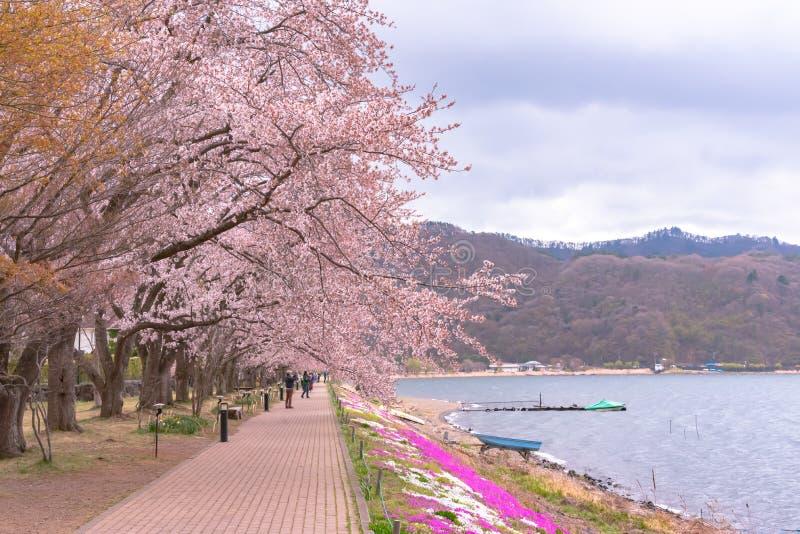 Het Weergeven van bomen van de volledige bloei de roze kers bloeit bij Meer Kawaguchi met duidelijke blauwe hemel natuurlijke ach royalty-vrije stock foto's
