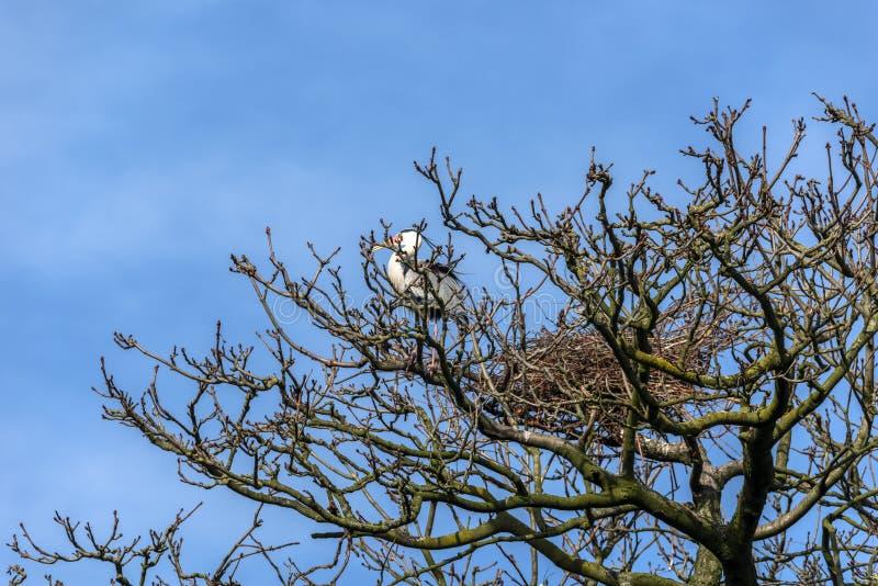 Het Weergeven van de bovenkant van een naakte boom met het ontluiken ontluikt, in de vroege lente, waarin een reiger de bezige bo royalty-vrije stock afbeelding