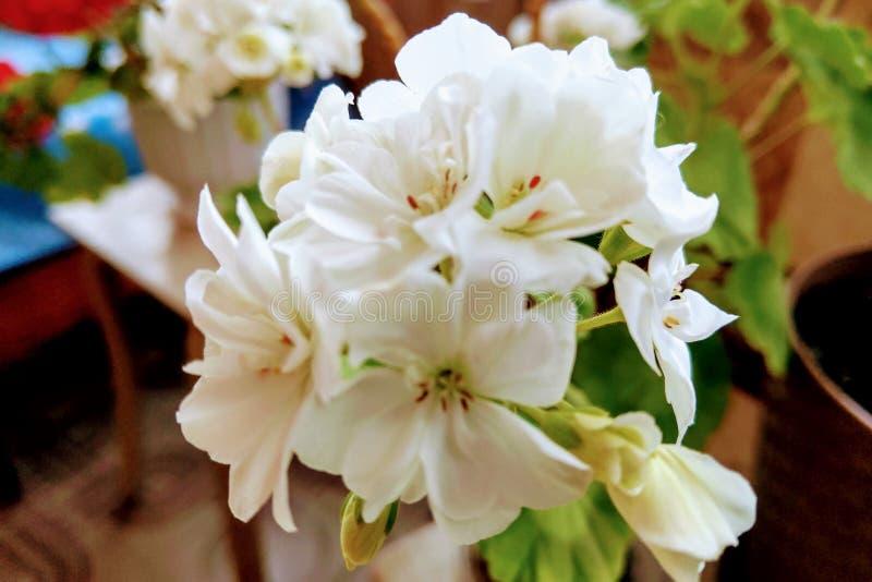 Het Weergeven van witte geranium bloeit, mooie bloemen in de ruimte van de bladluistuin royalty-vrije stock fotografie
