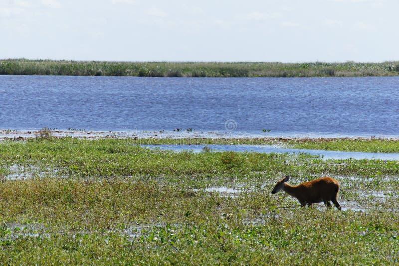 Het weiden dichtbij de lagune in de het moerasherten van reserveibiza stock fotografie
