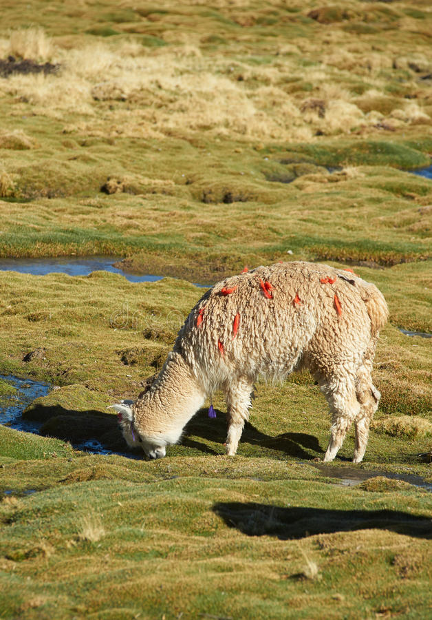 Het weiden van de alpaca royalty-vrije stock fotografie