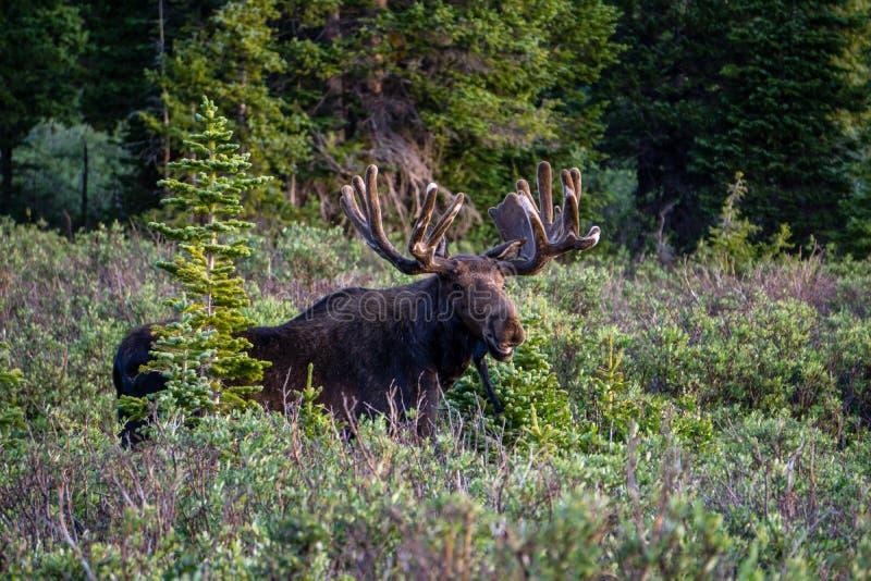 Het Weiden van de Amerikaanse elanden van de stier stock afbeelding