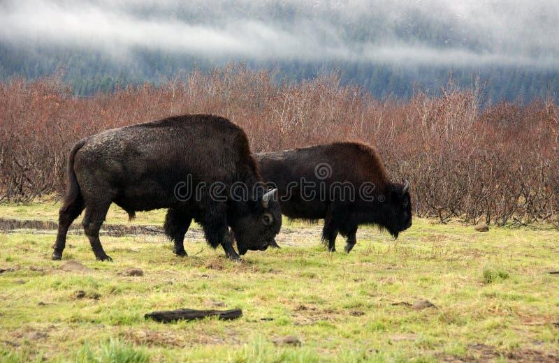 Het Weiden van de bizon royalty-vrije stock foto's