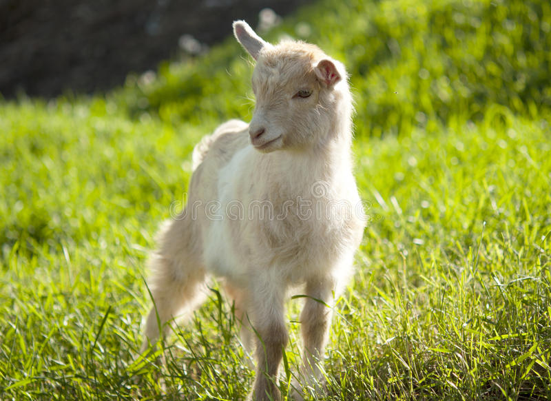 Het weiden van de geit royalty-vrije stock afbeeldingen