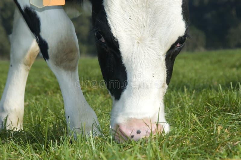 Het weiden van de koe royalty-vrije stock fotografie