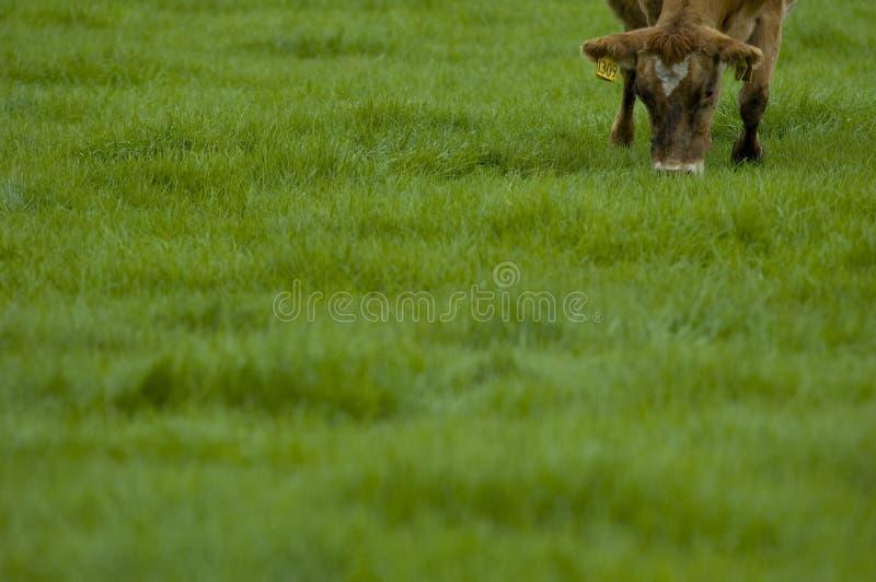 Het weiden van de koe op gras stock foto