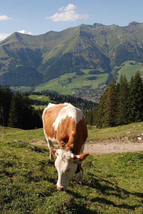 Het Weiden van de koe in Zwitserland stock foto