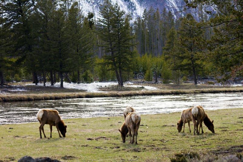 Het Weiden van de Kudde van de Familie van elanden vreedzaam in Yellowstone stock foto