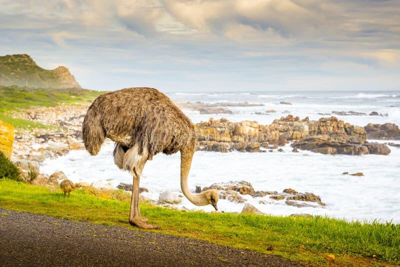 Het weiden van de struisvogel stock foto