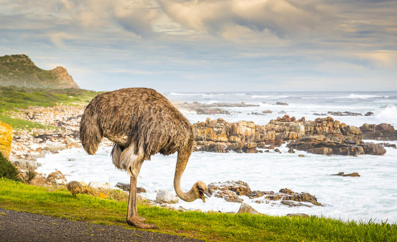 Het weiden van de struisvogel royalty-vrije stock foto's