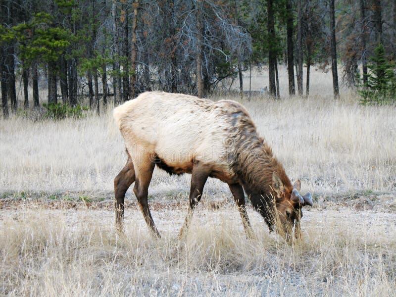 Het weiden van elanden royalty-vrije stock foto's