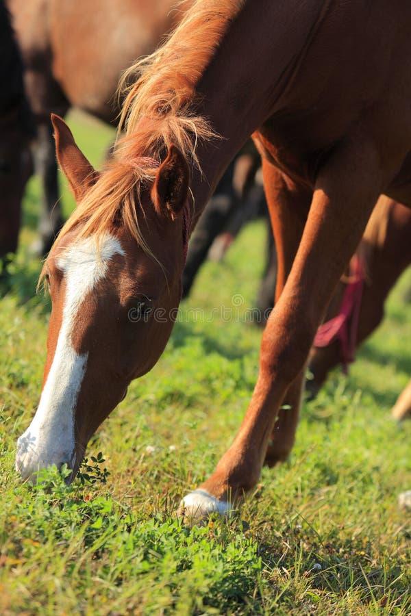 Het weiden van het paard stock foto