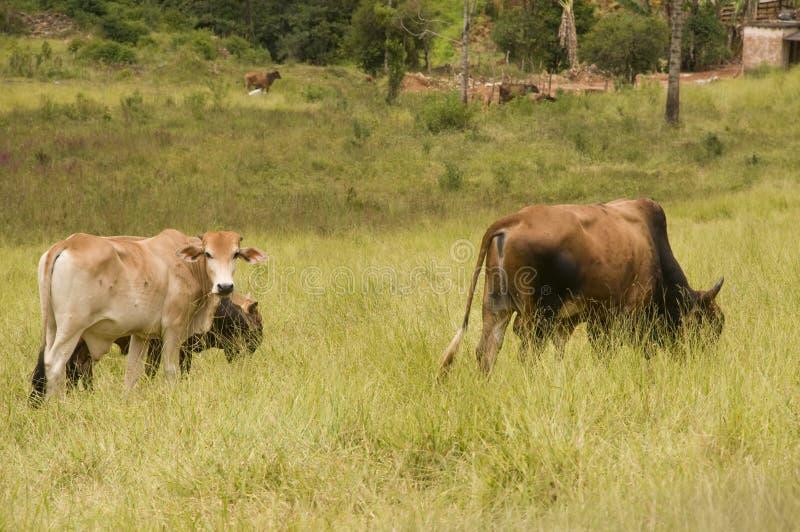 Het Weiden van het vee stock afbeeldingen