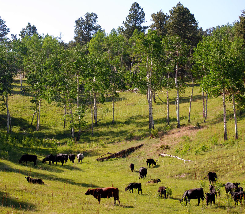 Het Weiden van het vee stock foto