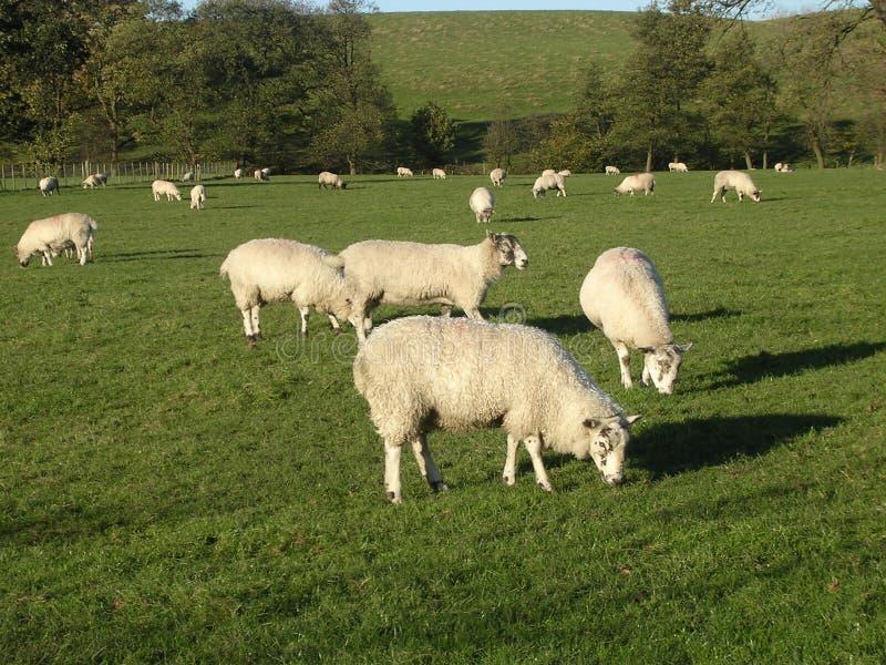 Het Weiden van schapen. stock afbeelding