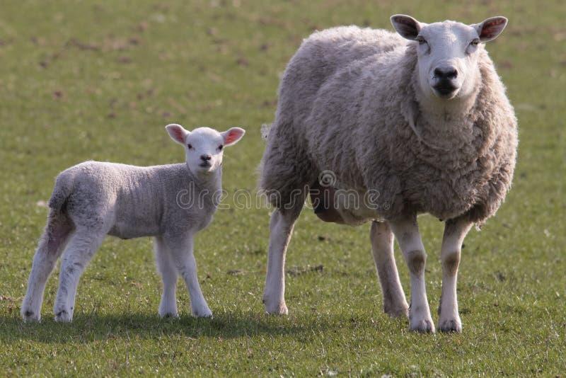 Het weiden van schapen en van het lam stock foto