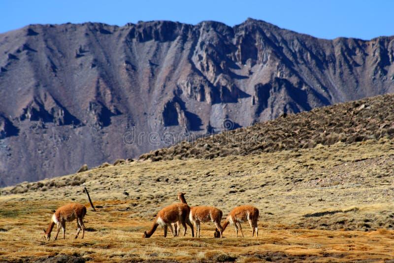Het weiden van Vicuñas stock fotografie