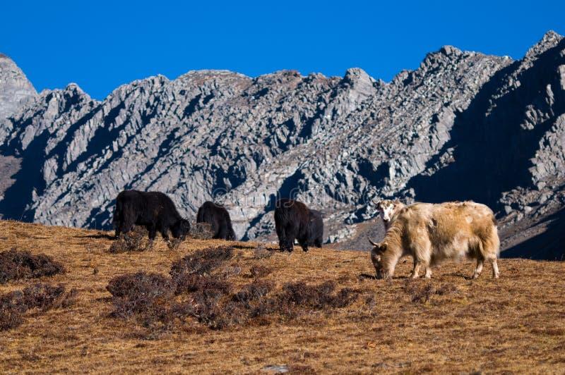 Het weiden van Yaks in de bergen stock afbeelding